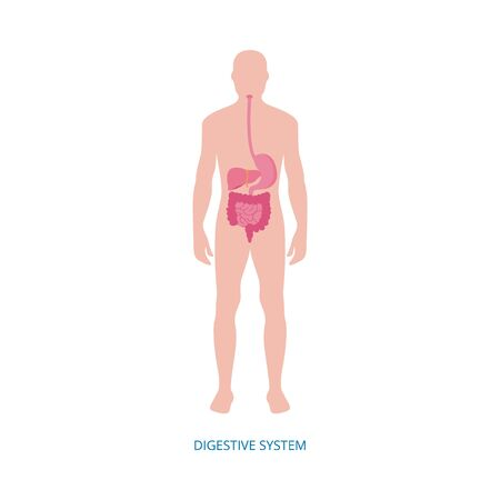 Human digestive system - medical diagram with internal organs shown on male body. Colon, liver, intestines and other stomach organs - flat isolated vector illustration. Ilustracja