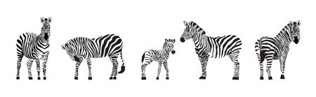 Cartoon zebra set - exotic wild animal standing isolated on white background. Adult and baby zebras with striped fur from different angles - flat vector illustration