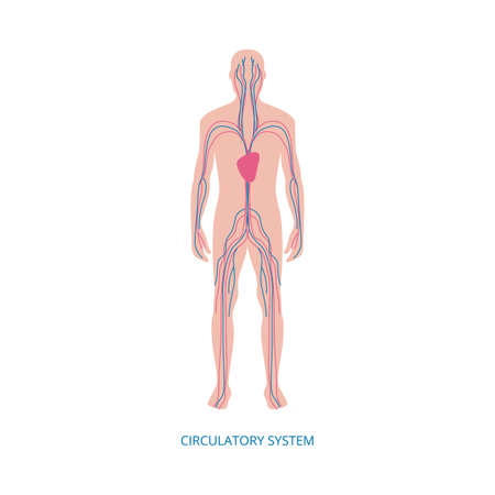 Human blood circulatory system infographic vector illustration isolated on white background. Scientific medical image of male body with principal veins and arteries.