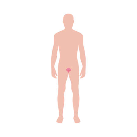 Male body shape with bladder icon vector illustration isolated on white background. Organ of genitourinary system and human body internal structure medical infographic. Иллюстрация