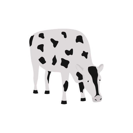 Cartoon farm cow isolated on white background - spotty black and white animal eating or grazing with head bowed down. Vector illustration.
