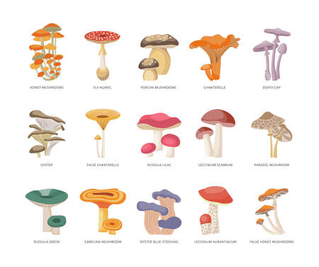 Table of edible and poisonous mushrooms with names, flat vector illustration isolated on white background. Infographics for studying the types of forest mushrooms.