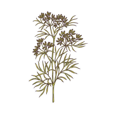 Branch of cumin plant with flowers, leaves and seeds a vector sketch illustration Vektoros illusztráció
