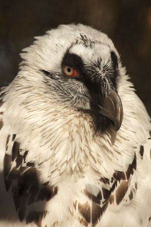 Portrait of white vulture on a sunny day photo