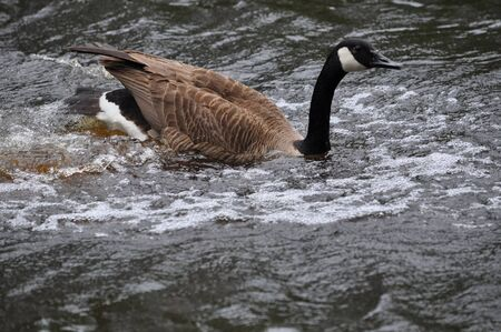 A parent goose just landed on the water