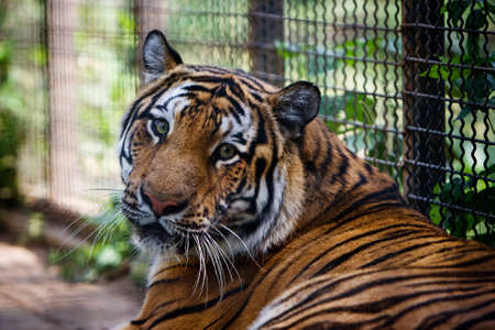 captivity: Bengal tiger in captivity looking at viewer