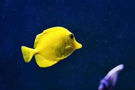 yellow tang: Yellow tang fish against deep blue background with bubbles