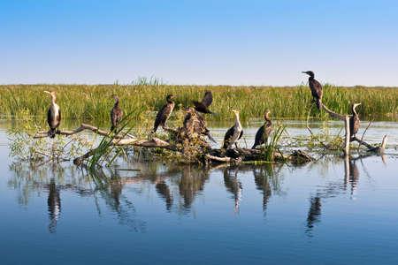 danube delta: Great black cormorants on sunken tree in Danube Delta