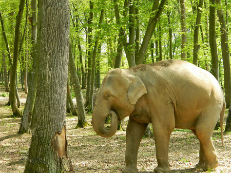 recognised: Elephants are large mammals of the family Elephantidae and the order Proboscidea. Two species are traditionally recognised Stock Photo