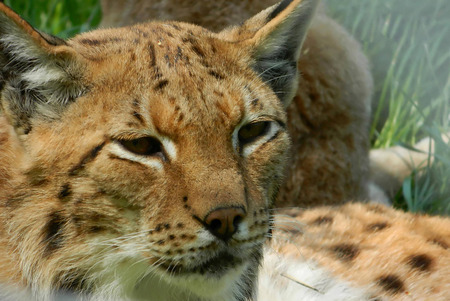 whiskers: Lynx have a short tail characteristic tufts of black hair on the tips of their ears large padded paws for walking on snow and long whiskers on the face. Under their neck they have a ruff which has black bars resembling a bow tie although this is often not