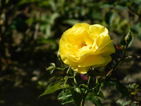 eudicots: Beautiful yellow rose