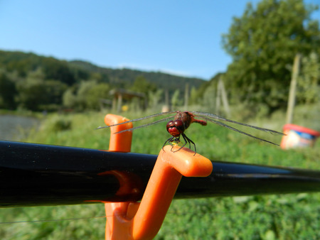 crocothemis: Dark red Dragonfly  Anisoptera on fishig pole closeup on orange fishing pole support.