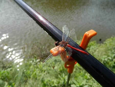 libellulidae: Dark red Dragonfly  Anisoptera on fishig pole closeup on orange fishing pole support.