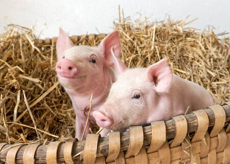 Two little pigs in the straw nest, organic piglet, piglet Stockfoto