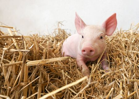 Funny little pig in the straw Stockfoto