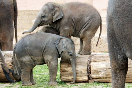 Two little Indian elephants playing, Latin Elephas maximus indicus 免版税图像