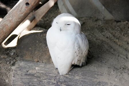 View of a snowy owl in the shelter, Latin Bubo scandiacus Banco de Imagens