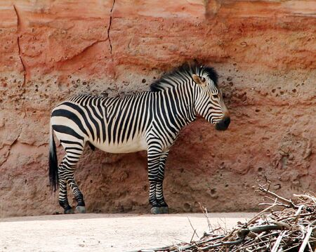 A Grant plains zebra stands in front of a red rock Equus quagga boehmi Stock Photo