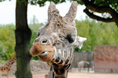 Head of a red-shielded giraffe, Giraffa camelopardalis Rothschild