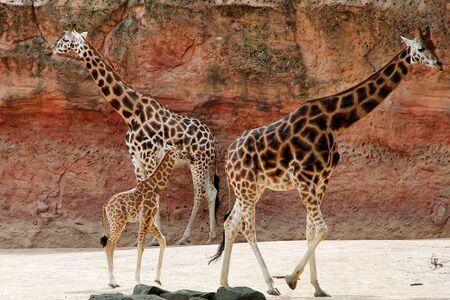 Three red-shield giraffe Giraffa camelopardalis Rothschild 스톡 콘텐츠