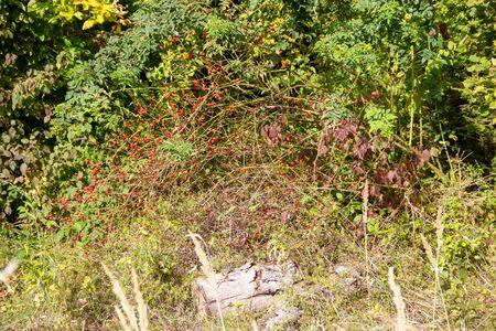 Autumn forest with a rosehip shrub