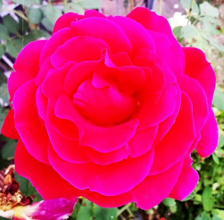 View of a red rose from the plant genus of the rose family, Rosaceae