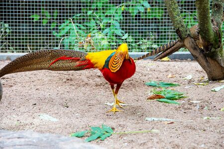 View of a beautifully colored golden pheasant, latin Chrysolophus pictus 스톡 콘텐츠