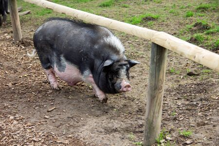 View of a black-white pot-bellied pig under a wooden railing