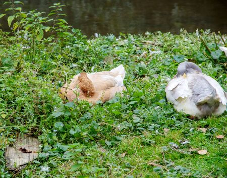 View of two sleeping Saxon ducks, bred from a blue Pomerania duck and a rouen duck, latin anas platyrhynchos forma domestica 스톡 콘텐츠