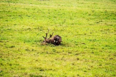 a Dybowski deer rolling on the ground, Cervus nippon hortulorum