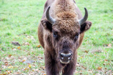 Close-up of a European bison, Latin bison bonasus 스톡 콘텐츠