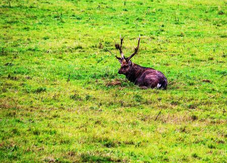 View of a Dybowski Hirsch (Cervus nippon hortulorum), it is a subspecies of the sika deer (Cervus nippon) and counts within the family of the deer (Cervidae) to the kind of the noble deer