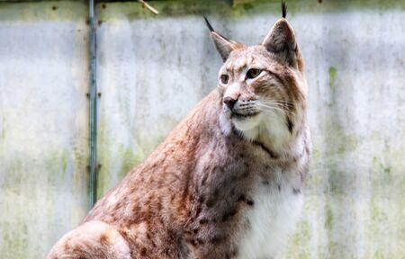 View of a Eurasian north lynx, Latin Lynx lynx 스톡 콘텐츠