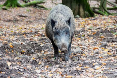Front view of a big wild boar, latin Sus scrofa