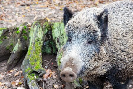 Head view of a wild boar next to a tree stump, Sus scrofa