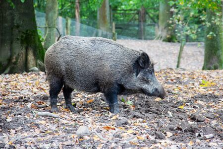 View of a side-by-side adult wild boar, Sus scrofa 스톡 콘텐츠