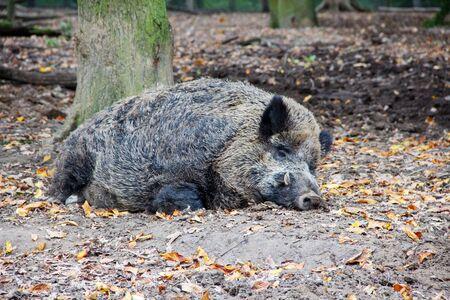 View of a sleeping boar, wild boar latin Sus scrofa