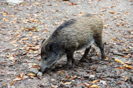 View of a young boar, Sus scrofa