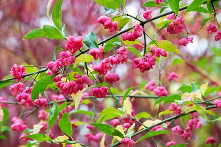 The common spindle shrub (Euonymus europaeus), known as European Spiked Cap, Pfaffenk?ppchen, Pfaffenkapperl, Spill tree or spindle tree 스톡 콘텐츠