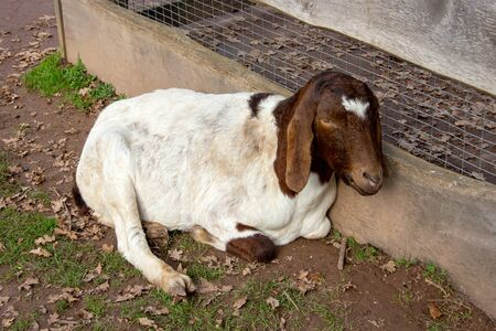View of a Boer goat, a meat goat breed, from the breed of domestic goats