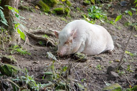 View of a short-chested domestic pig, also known as minipig 스톡 콘텐츠