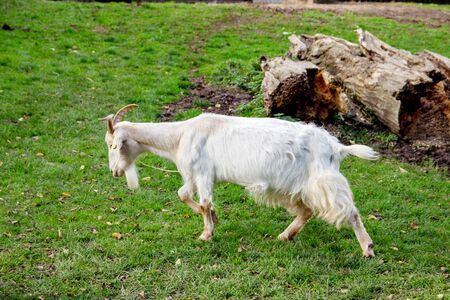 A running white german goat in a meadow, latin Capra hircus 스톡 콘텐츠