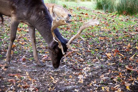 Look of a fallow deer while eating in a meadow, Dama Dama
