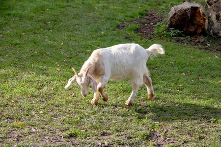 Portrait of a white german goat, latin Capra hircus