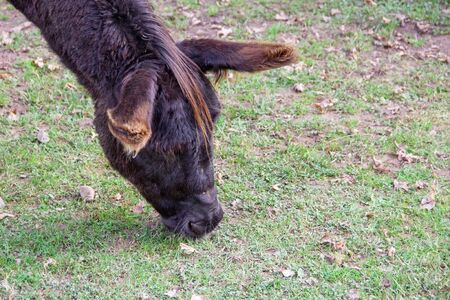 View of a donkey while eating on a meadow 版權商用圖片