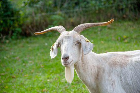 View of a guzzling white german goat, latin capra hircus 스톡 콘텐츠