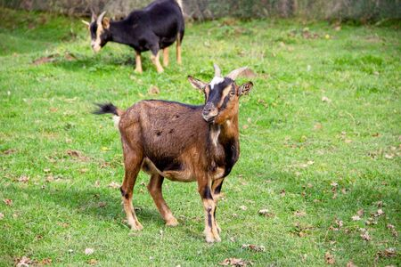 View of two Thuringian forest goats on a meadow 스톡 콘텐츠