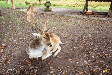 Front view of a fallow deer, latin Dama dama or Cervus dama