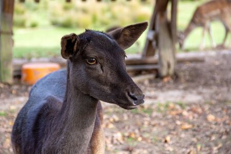 Front view of a female fallow deer, Cervus dama