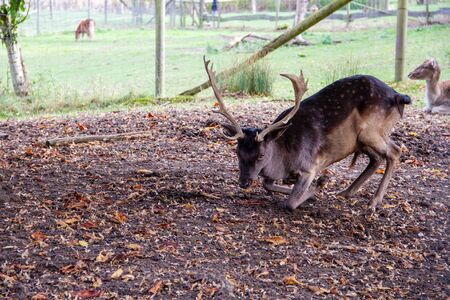 View of a lying down fallow deer, cervus dama